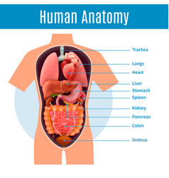 Human anatomy poster vector