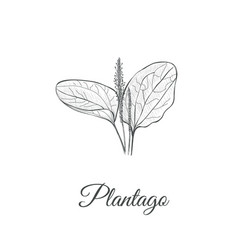 Plantago sketch hand drawing plantain vector