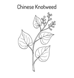 chinese knotweed polygonum multiflorum fo-ti vector image