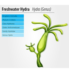 Freshwater hydra vector image