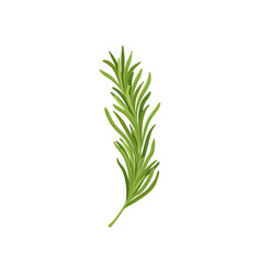 sprig of green rosemary fresh herb used in vector image