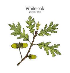 White oak quercus alba illinois connecticut and vector