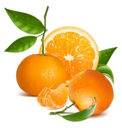 Fresh tangerines with green leaves and orange vector image vector image