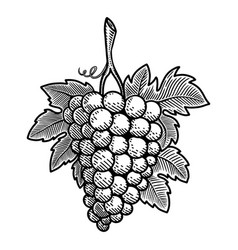 grape in engraving style design element for vector image