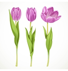 Three purple tulips isolated on a white vector image