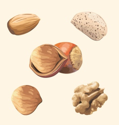 nuts vector image