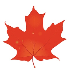 Red leaf with raindrops vector