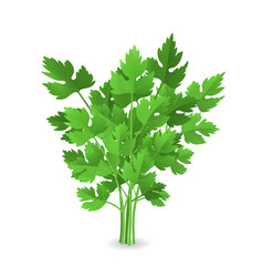 Realistic detailed 3d green raw parsley vector