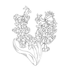 hyacinths blooming spring flowers coloring page vector image