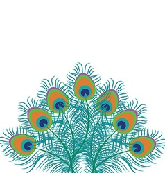 Peacock feathers vector image