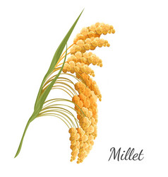 yellow millet isolated on white realistic vector image
