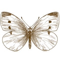 engraving antique small white butterfly vector image