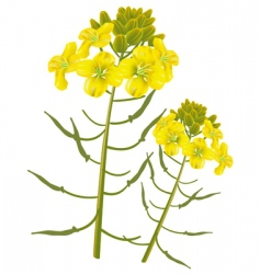 mustard flower vector image vector image