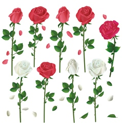 Set of flowers white and red roses isolated vector image vector image