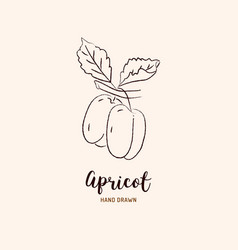apricot drawing hand drawn apricots sketch vector image