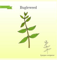 Bugleweed lycopus europaeus medicinal plant vector