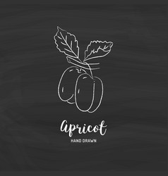 Apricot drawing hand drawn apricots sketch vector