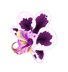 orchid phalaenopsis with spots purple and white vector image