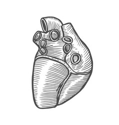 anatomical human heart vector image