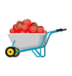 wheelbarrow and strawberry red berry in garden vector image