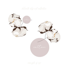 cotton bloom flower branch vector image