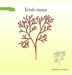 Irish moss chondrus crispus red alga vector