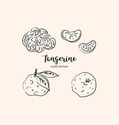 tangerine drawing hand drawn mandarin vector image