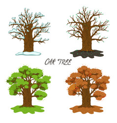 Oak in four seasons isolate on a white background vector