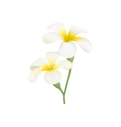 white and yellow plumeria frangipani flowers vector image