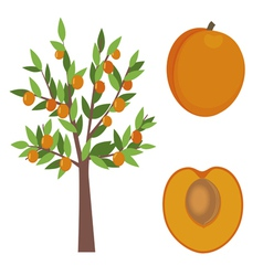 Apricot tree vector