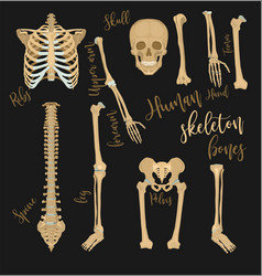 human bones image vector image