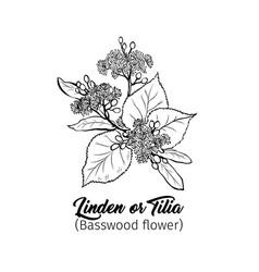 linden blossom black ink vector image