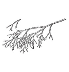 Branch of incense cedar vintage vector