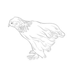 sketch of chicken vector image