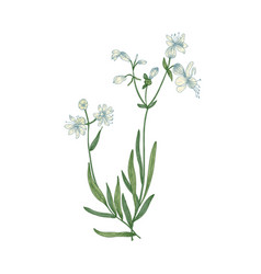 Beautiful botanical drawing of silene vulgaris or vector