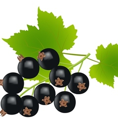 black currants vector image