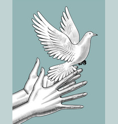 female hands release a white dove vintage vector image