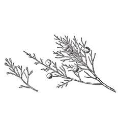 Branch of checker barked juniper vintage vector
