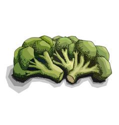 Drawing bunch broccoli vector