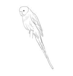 Sketch of budgerigar vector