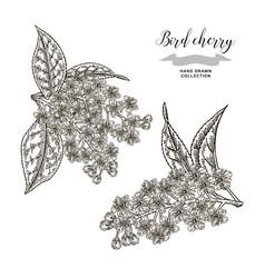 bird cherry tree flowers hand drawn bird-cherry vector image