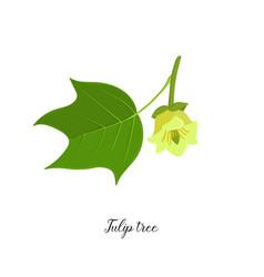 drawing branch tulip tree vector image