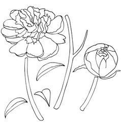peony flower sketch vector image