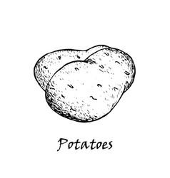 potato drawing vector image