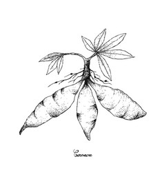 Hand drawn of fresh cassava root on white backgrou vector