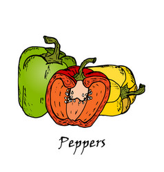 hand drawn of three colored peppers vector image