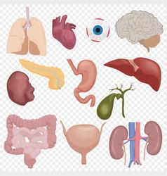 Human body internal parts organs set isolated vector