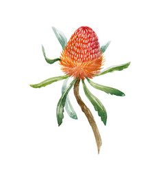 Watercolor banksia flower vector