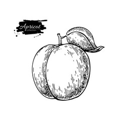 Apricot drawing hand drawn isolated fruit vector