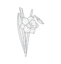 Narcissus Flower Monochrome Drawing For Coloring vector image vector image